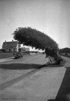 Dallas Road wind-blown tree