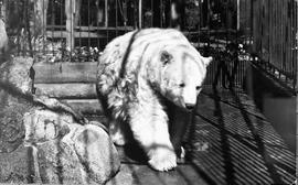 Ursus Kermode (white bear) who lived at Beacon Hill Park 1924-1948