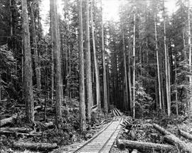Mixed fir and hemlock stand at Port Alberni, British Columbia