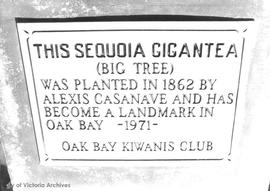 Unveiling of plaque to commemorate rededication of Sequoia tree planted at Oak Bay High School pr...