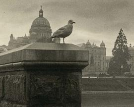 Sentinel [sea gull on causeway wall, Parliament Buildings in background]