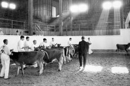 Cattle judging at Agricultural fair at Willows Fairgrounds