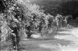 Hatley Park, view of garden rose covered arches