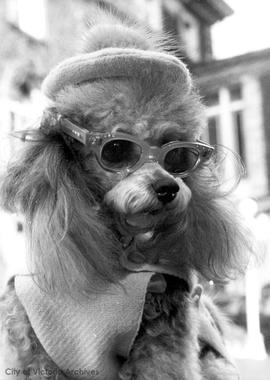 Fifi [poodle with sunglasses]