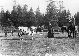 Margaret and James Fairfull with their dairy herd on Senator W.J. Macdonald's property &quot...
