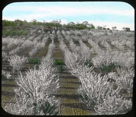 Orchard in bloom, Victoria