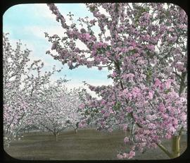 Apple orchard in bloom, Victoria